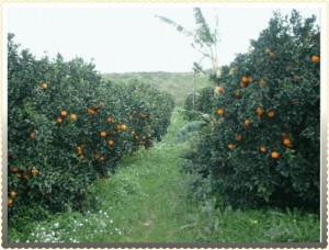 alberi arance