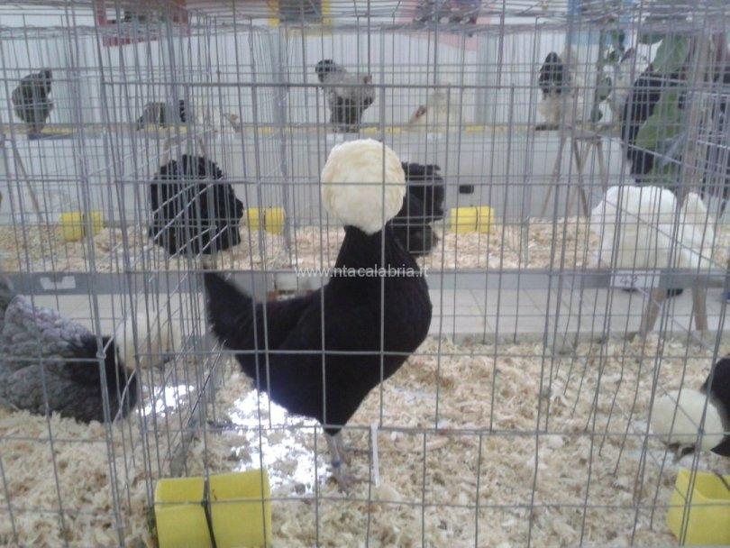 mostra-avicoli-ornamentali-08