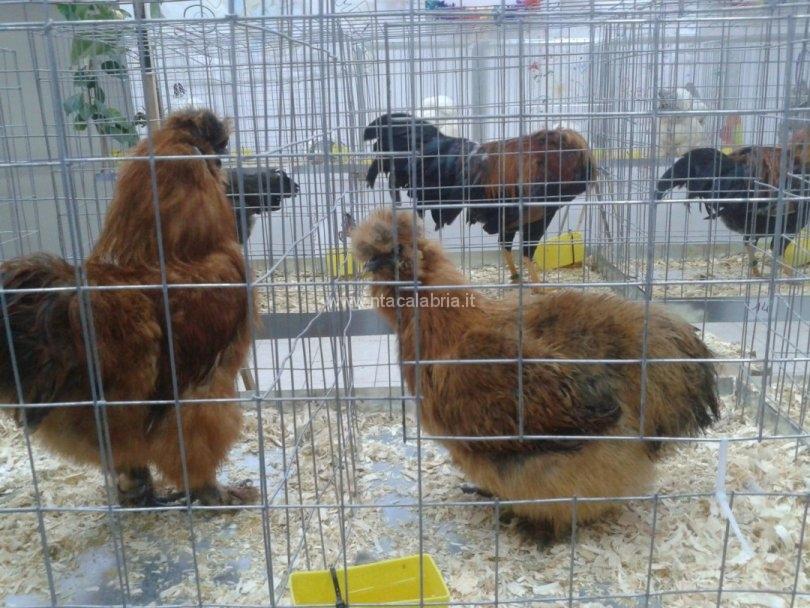mostra-avicoli-ornamentali-12
