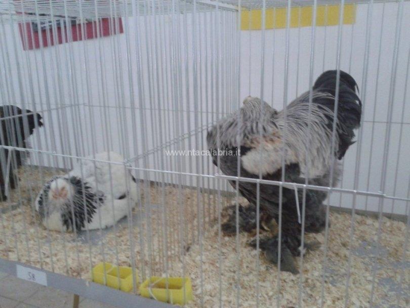 mostra-avicoli-ornamentali-21