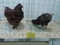 mostra-avicoli-ornamentali-01