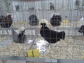 mostra-avicoli-ornamentali-09