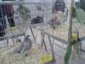 mostra-avicoli-ornamentali-10