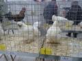 mostra-avicoli-ornamentali-11