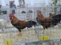 mostra-avicoli-ornamentali-13