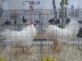 mostra-avicoli-ornamentali-14