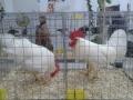 mostra-avicoli-ornamentali-15