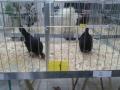 mostra-avicoli-ornamentali-16