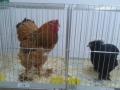 mostra-avicoli-ornamentali-19