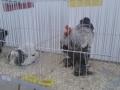 mostra-avicoli-ornamentali-22