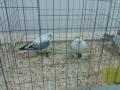 mostra-avicoli-ornamentali-23