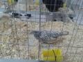 mostra-avicoli-ornamentali-25