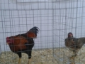 mostra-avicoli-ornamentali-27