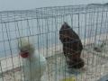 mostra-avicoli-ornamentali-28