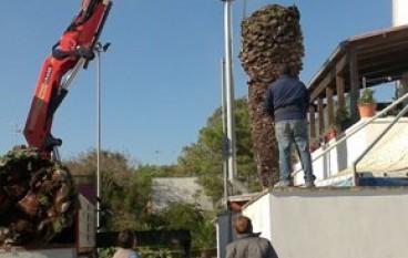 D'Agata (Idv), continuano le segnalazioni di palme abbattute per il Punteruolo rosso