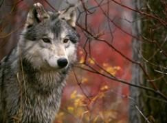 Melito Porto Salvo, branco di lupi attacca stalla di ovini