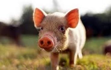 Detti calabresi: 'A cardàra gugghj e 'u porcu è 'a muntagna!