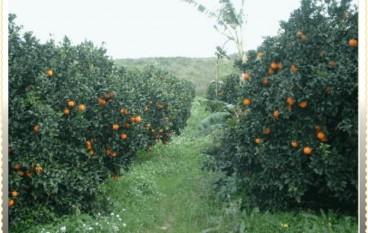 Catanzaro, rubano 200 Kg di arance. Arrestati per furto aggravato in concorso