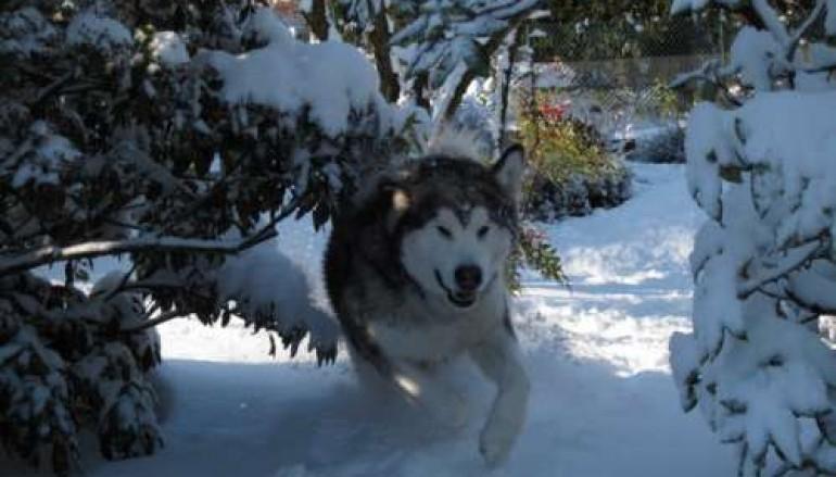 Cosenza, torneranno i cani da slitta nei parchi della Sila e del Pollino