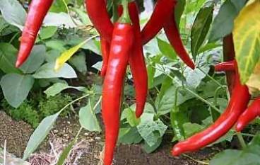 Calabria al primo posto in Italia per consumo di peperoncino, lo importa però dai paesi orientali