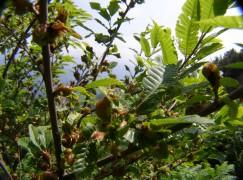 Pentone (Cz), convegno sul cinipide del castagno