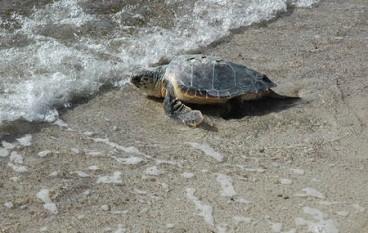 A Pizzo Calabro la liberazione della tartaruga Hoana