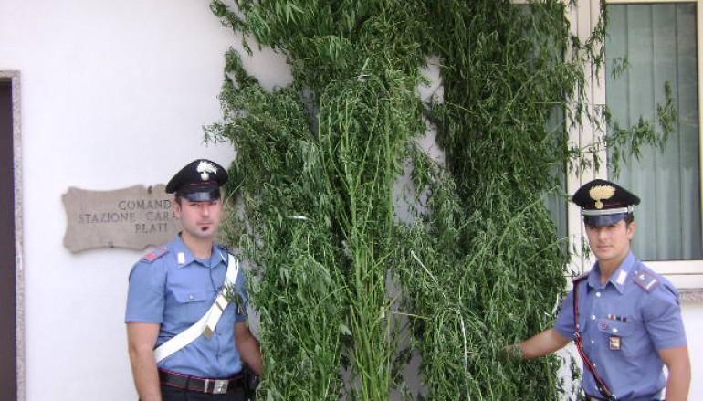 Marjuana Made in Calabria, arresti nel reggino