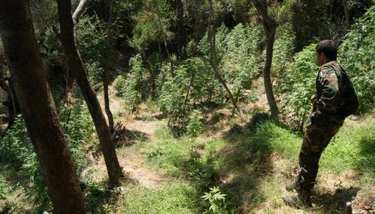 """San Ferdinando, rinvenuta piantagione di """"cannabis indica"""""""