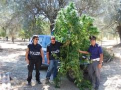 Bovalino (RC), arrestato pregiudicato di San Luca che coltivava canapa indica