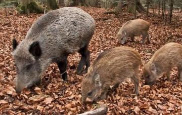 Apertura caccia, le richieste del Comitato squadre cinghialai