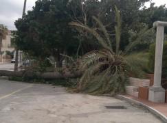 Palma secolare abbattuta dal vento in piazza municipio a Bova Marina