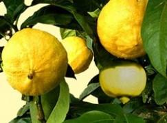 Area Grecanica, il bergamotto protagonista in Cina