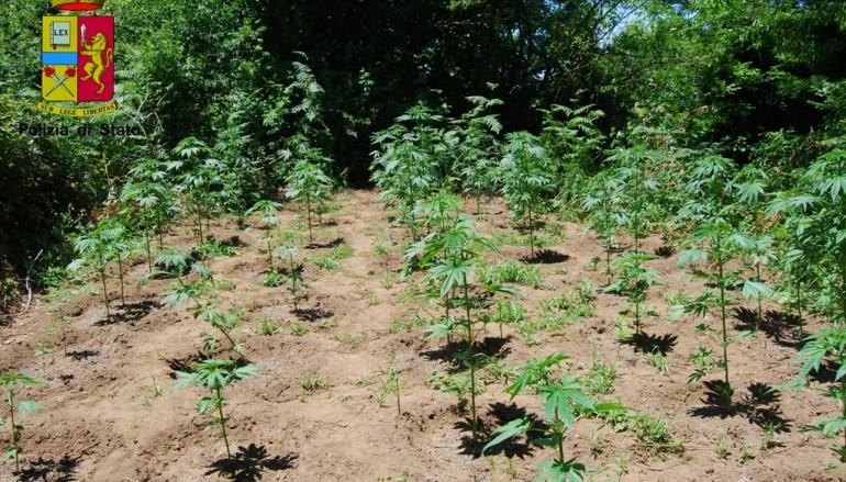 Delianuova, rinvenuta piantagione di cannabis indica