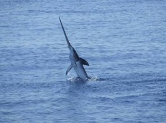 Dal 1° marzo stop alla pesca del pesce spada