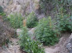 San Lorenzo M.na (RC), scoperta piantagione di canapa indiana, 3 arresti