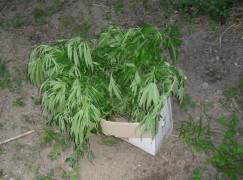 Giffone (RC), scoperte 33 piante di canapa indiana, un arresto