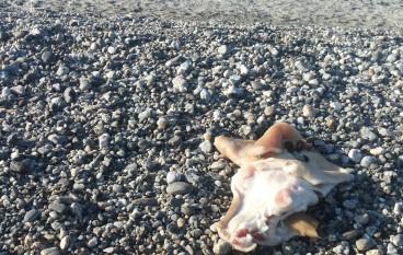 San Lorenzo Marina (RC), resti di animale in riva al mare