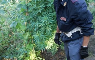 Siderno (RC), scoperta coltivazione di canapa indiana, 2 arresti