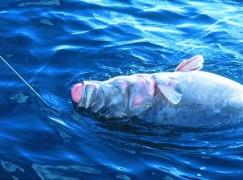 Cernia enorme pescata a Bova Marina