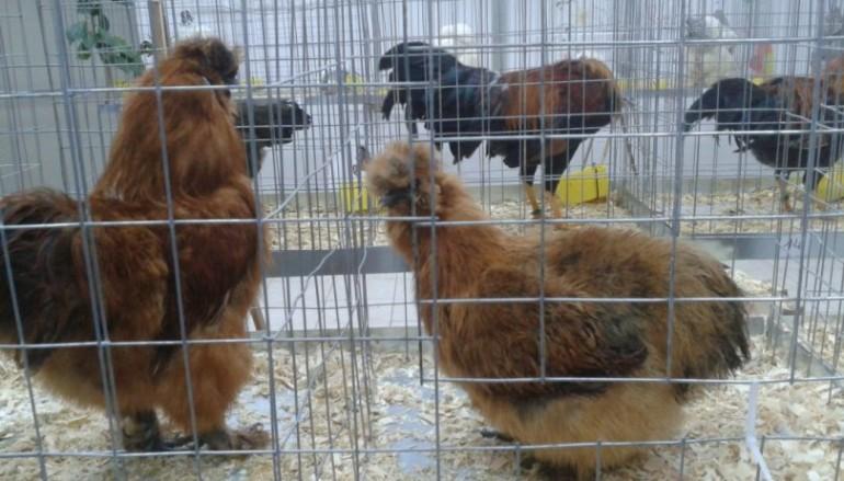 Mosta avicoli ornamentali a Roghudi, le foto