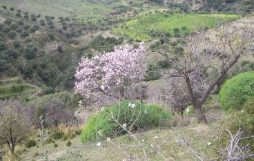 Bova Marina, escursione tra i mandorli in fiore
