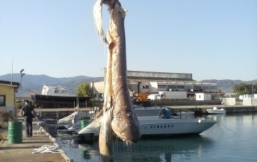 Corigliano Calabro, recuperata carcassa di Squalo Capopiatto