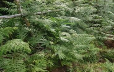 Rosarno, rinvenuta piantagione di canapa indiana