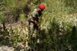 Bovalino, rinvenuta vasta piantagione di canapa indiana
