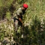 piantagione canapa bovalino