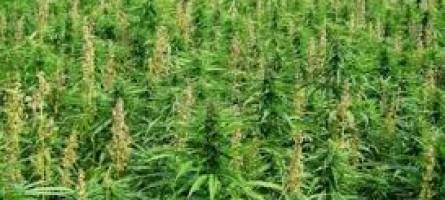 Bovalino (Rc), sequestrata piantagione di marijuana