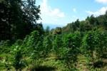 Seminara (RC), un arresto per detenzione di marijuana