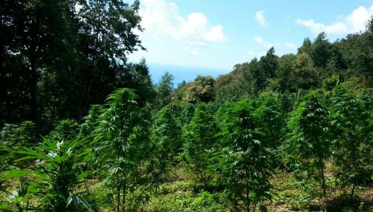 Area Grecanica, sequestrate 585 piante di cannabis