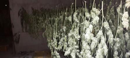 Rosarno (RC), due arresti per coltivazione di marijuana