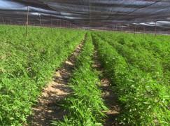 Confiscati terreni in Calabria, rinvenute piantagioni di cannabis